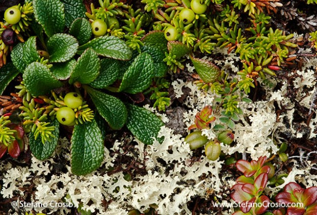 Tundra lichens: the sacred geometry of chance