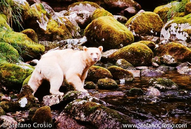Spirit (or Kermode) Bear (Ursus americanus kermodei)