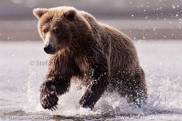 Sprinting Coastal Brown Bear (Ursus arctos)