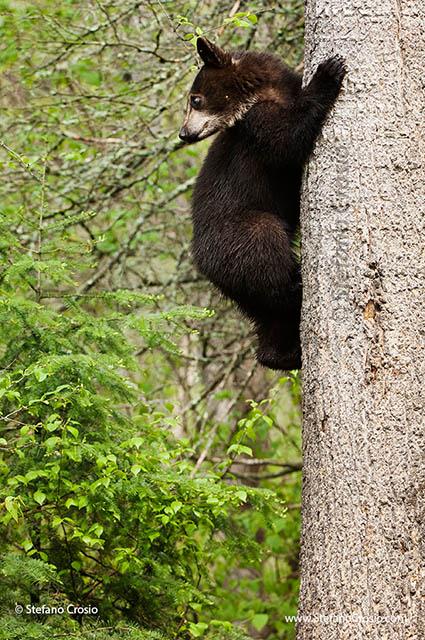 Black bear (Ursus americanus) cub climbing a tree
