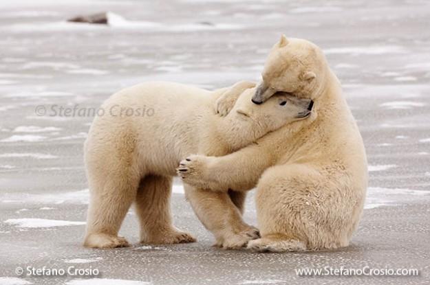 Polar Bear Hug (Ursus maritimus)