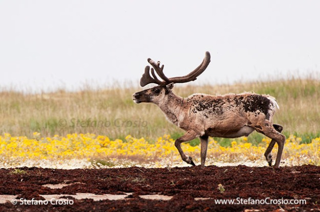 Barren-ground caribou bull (Rangifer tarandus groenlandicus)