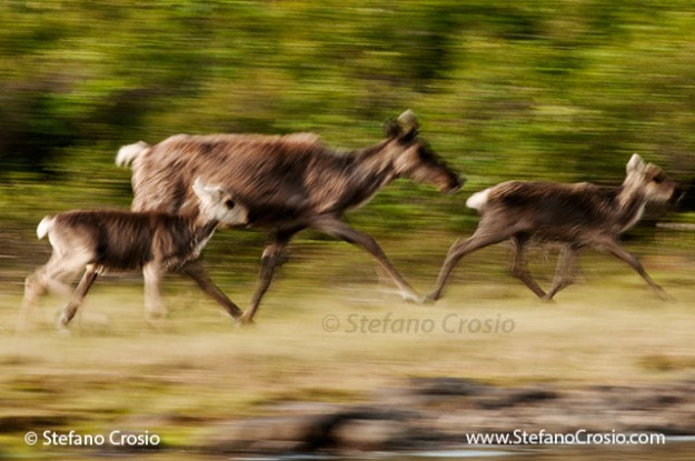 Pan blur of barren-ground caribou (Rangifer tarandus groenlandicus)