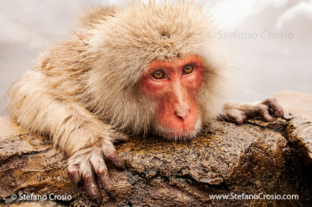 Japanese Snow Monkey (Macaca fuscata) in thermal pool