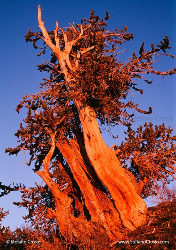 Great Basin Bristlecone Pine (Pinus longaeva) at sunset