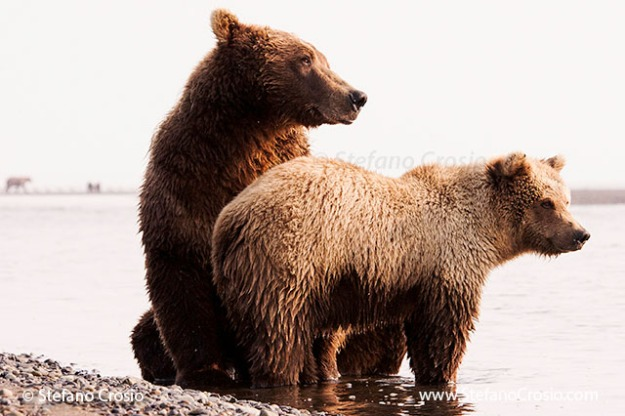 Coastal brown bear (Ursus arctos) sow with cub