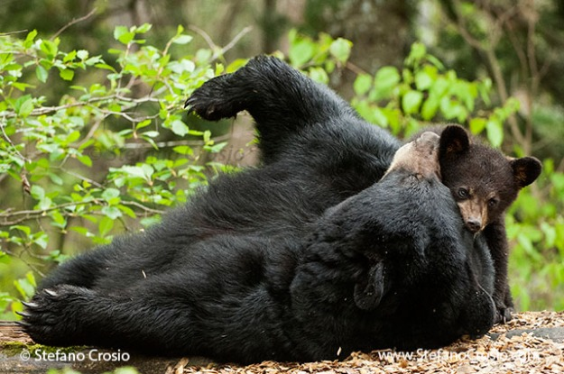 Black bear (Ursus americanus) sow play-fighting with cub