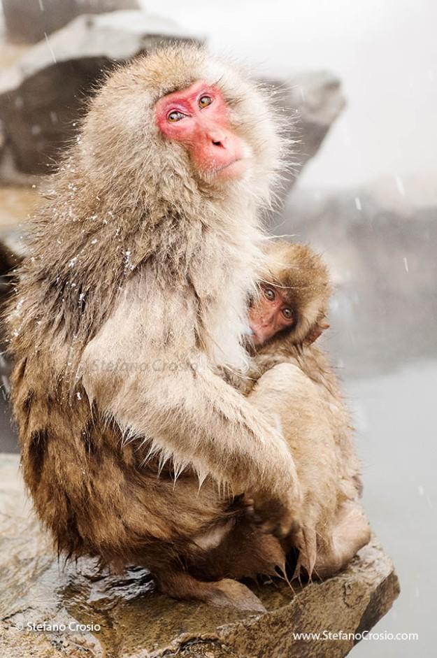 Snow monkey (Macaca fuscata) nursing her baby