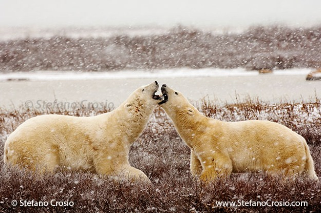 Polar bears (Ursus maritimus) confronting one another in a snow storm