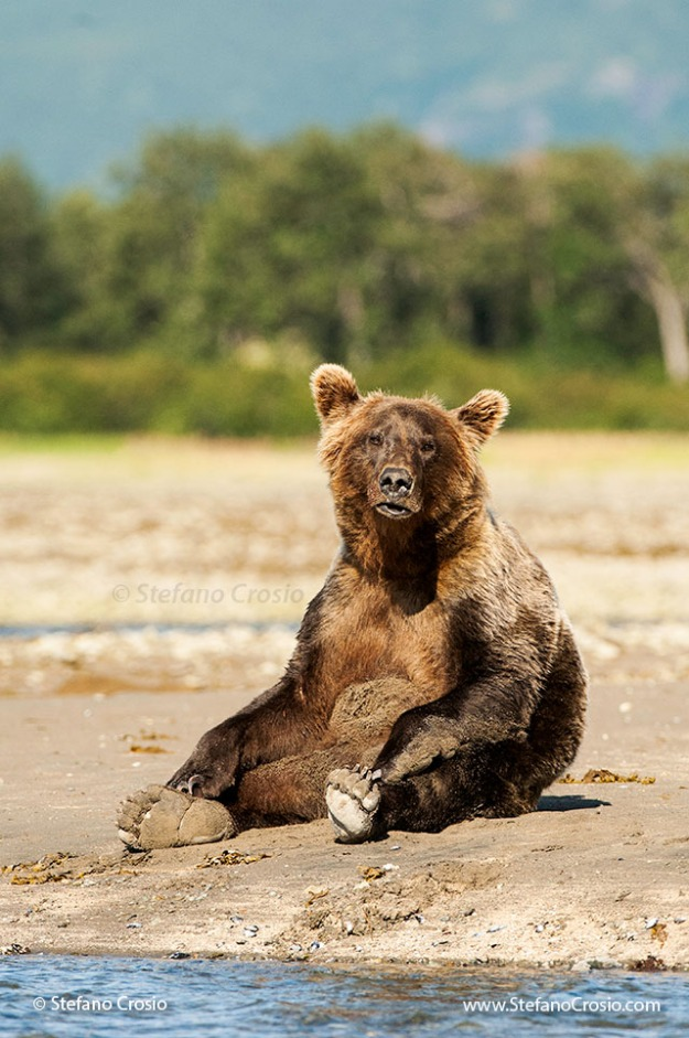 Coastal brown bear (Ursus arctos) sitting up