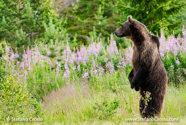 Brown bear (Ursus arctos) and fireweed