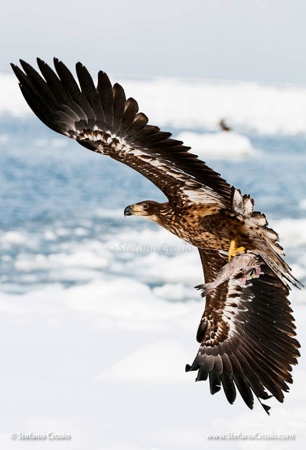 Juvenile white-tailed sea eagle (Haliaeetus albicilla) in flight