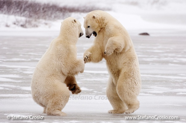 Polar bears (Ursus maritimus) play-fighting