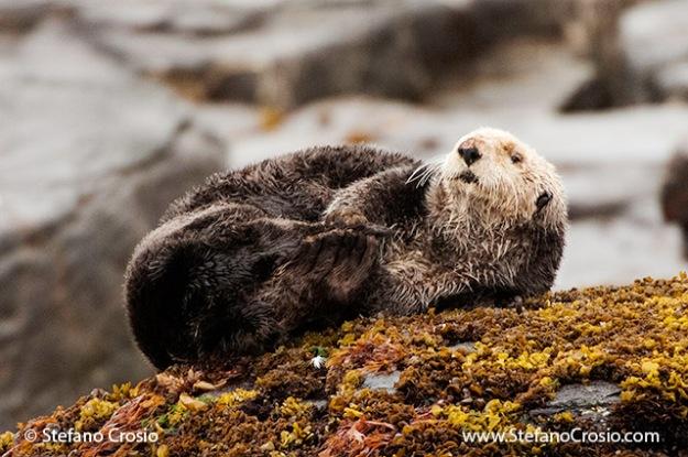 USA, Afognak Island, Kodiak Archipelago (AK) Sea otter (Enhydra lutris)