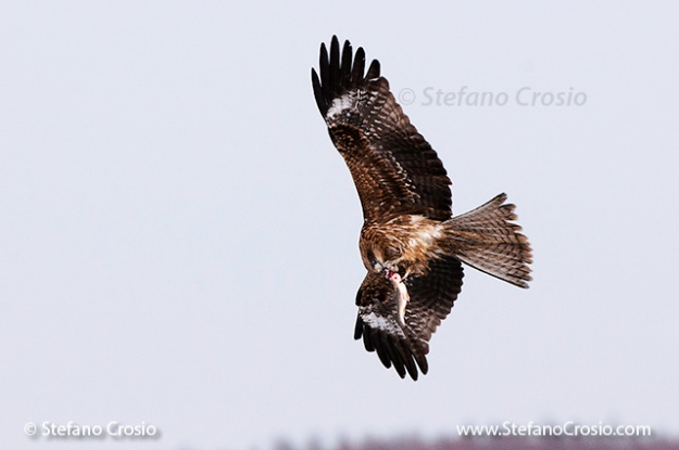 Black-eared kite (Milvus migrans lineatus) eating fish in flight