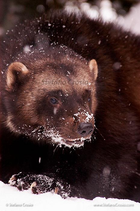 USA, Montana: Wolverine (Gulo gulo) (C)