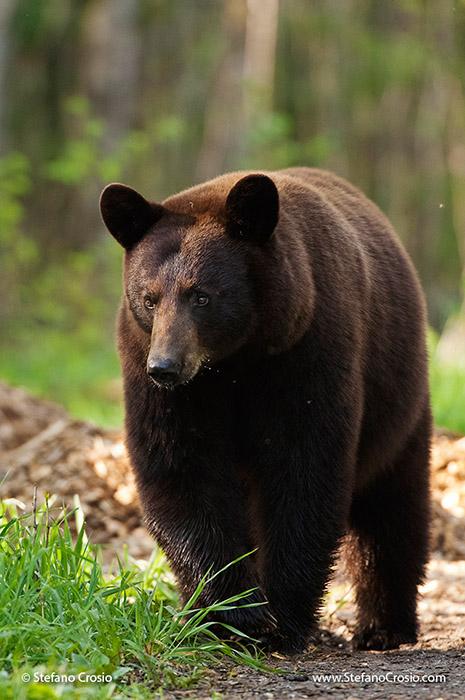 Black bear (Ursus americanus), cinnamon phase