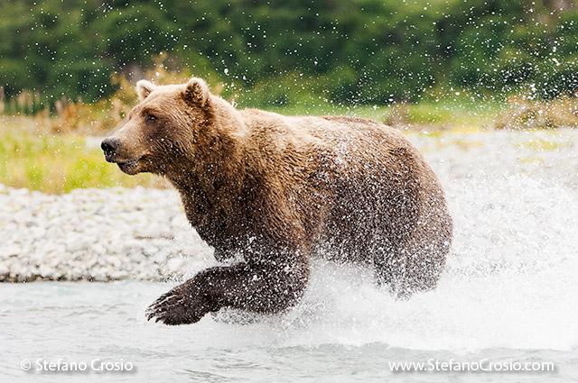USA, Katmai National Park (AK): Brown bear (Ursus arctos) running in the water