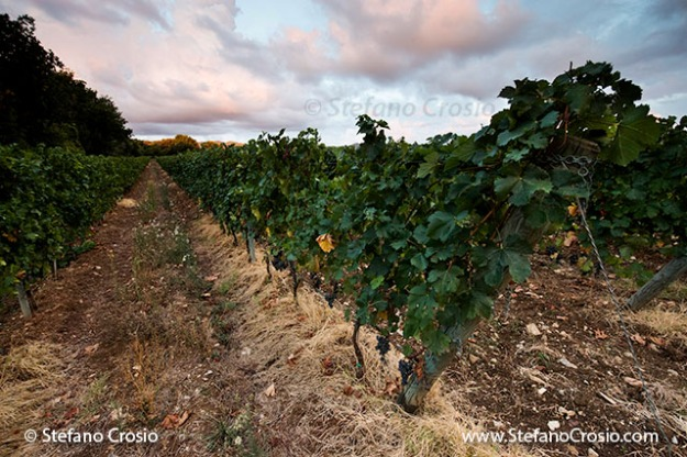Italy, Bolgheri: vineyards ready for harvesting