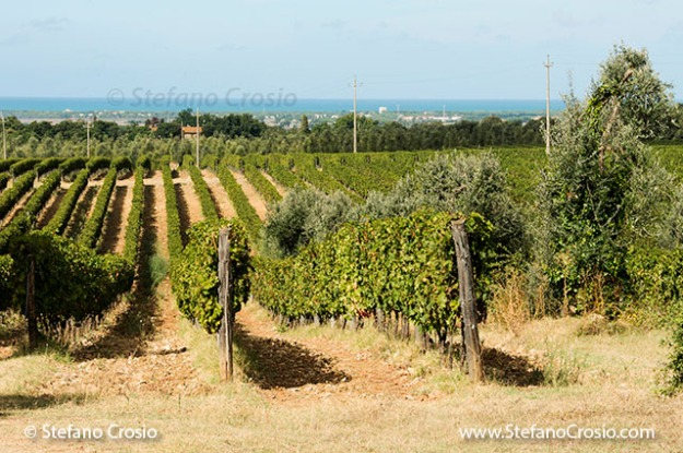 Italy, Bolgheri: vineyards and olive trees