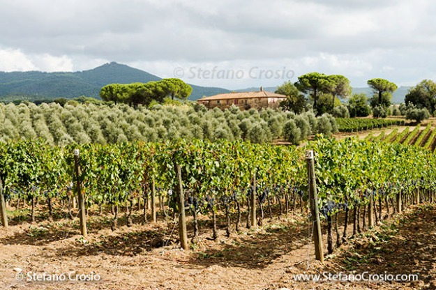 Italy, Bolgheri: vineyards at Tenuta San Guido ready for harvesting with olive tree orchard in the background