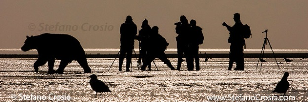 Photographers and coastal brown bear (Ursus arctos)