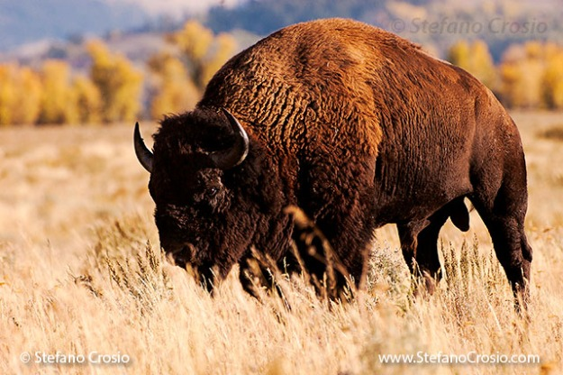 Grand Teton National Park (WY): Bison (Bison bison) at Antelope Falls