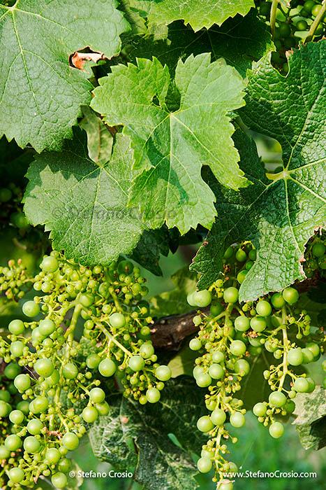 Ripening Merlot grapes at the vineyards of Chateau de Ferrand (Grand Cru Classé)