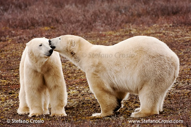 CANADA, Churchill (Hudson Bay) Polar bears (Ursus maritimus) interacting