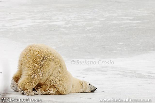 Polar bear (Ursus maritimus) crawling on thin ice