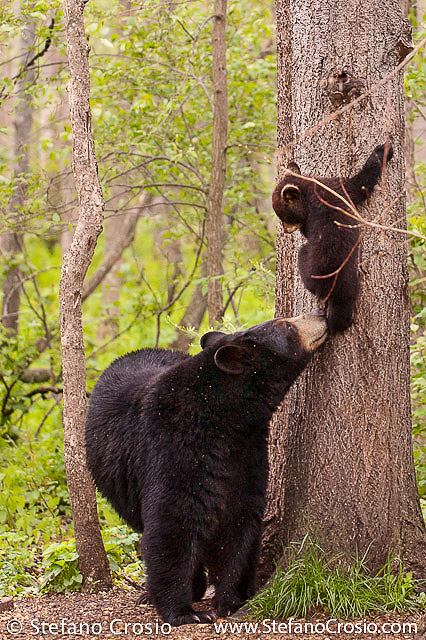 Black bear sow with cub on a tree