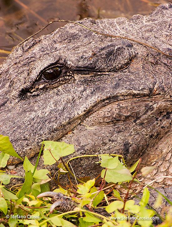 American alligator close-up