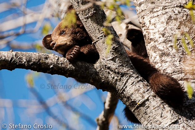 Black bear (Ursus americanus) cub, cinnamon phase, on a tree