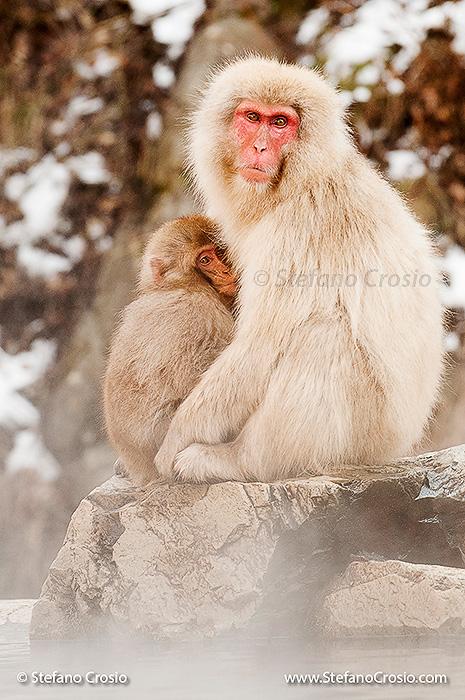 Japan, Nagano: Snow monkey (Macaca fuscata) nursing her baby